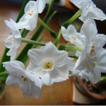 paperwhites