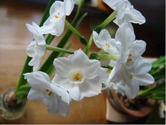 Winter Gardening: Forcing Bulbs Indoors