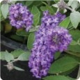 Buddleia Flutterby Petite &#039;Blue Heaven&#039;